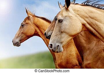 konie, purebred, closeup