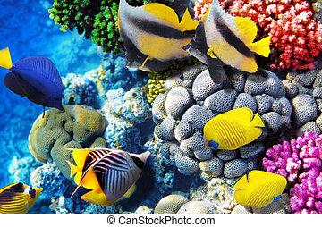 koral, egipt, sea., afryka., fish, czerwony