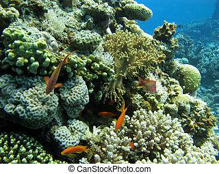 korale, koral, twardy, miękki, rafa