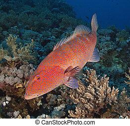 koralikowa rafa, grouper