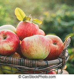 kosz, świeże jabłka, dojrzały