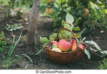 kosz, apples., świeżo, obierany