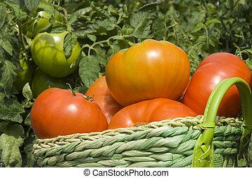 kosz, ogród, pomidory