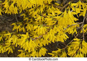 krzak, kwiaty, soczysty, żółty