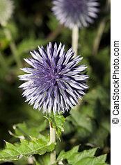 kula, kwiat, oset, (echinops, sp.)