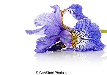 kwiat, błękitny, iris.