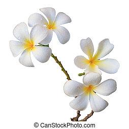kwiat, frangipani, odizolowany, biały