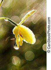kwiat, kropla, do góry, deszcz, zamazany, zamknięcie, storczyk