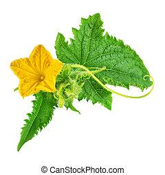 kwiat, liść, odizolowany, żółta zieleń, ogórek