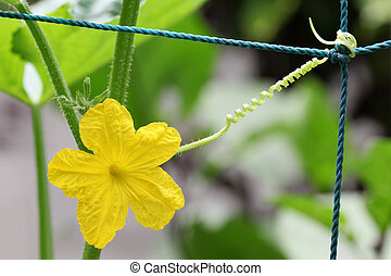 kwiat, ogórek, żółty
