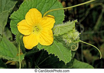 kwiat, ogórek
