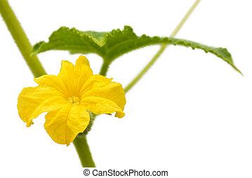 kwiat, ogórek, odizolowany
