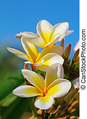 kwiaty, (frangipani), plumeria