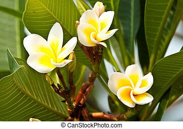 kwiaty, frangipani, plumeria