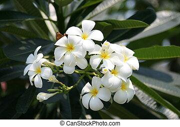 kwiaty, frangipani, thailand.