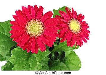 kwiaty, gerbera, czerwony