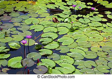 kwiaty, jezioro, lotos