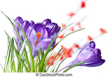 kwiaty, krokus, czerwony, zamazany