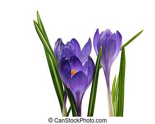 kwiaty, krokus