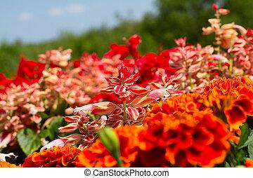 kwiaty, ogród, czerwony