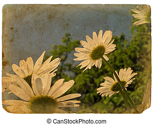 kwiaty, stary, postcard., rozkwiecony, chamomile.