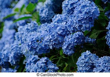 kwiaty, szczelnie-do góry, krzak, soczysty, hortensja