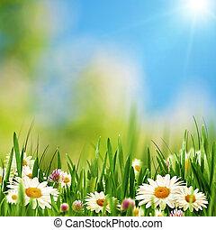 lato, łąka, naturalne piękno, abstrakcyjny, tła, stokrotka, kwiaty