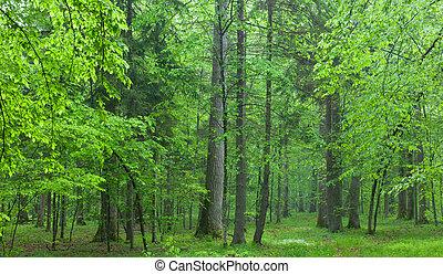 lato, dęby, stary, las, mglisty
