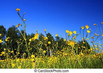 lato, kwiaty, łąka