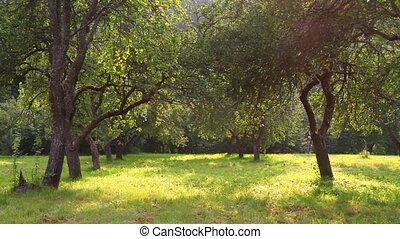 lato, ogród, jabłko