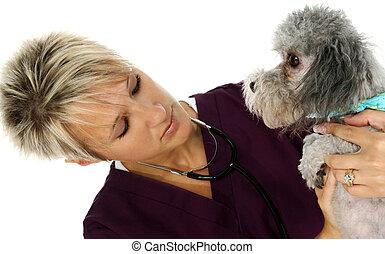 lekarz weterynarii, pies