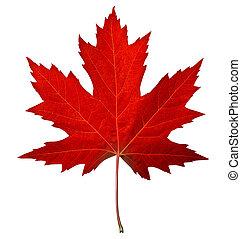 liść, czerwony klon