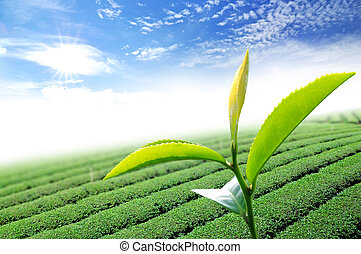 liść, herbata, zielony