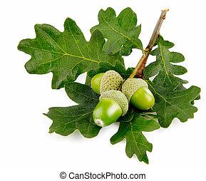liście, zielony, żołądź, owoce