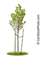 lipa, drzewo, odizolowany, młody