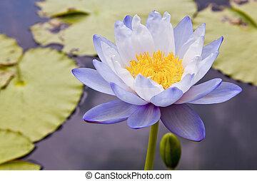 lotos, woda, kwiaty, rozkwiecony, staw, kwiaty, lilia, albo