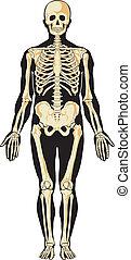 ludzki, anatomy., szkielet