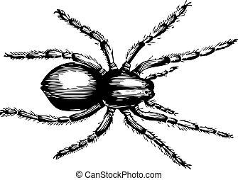 lycosa, fatifera, wilk, albo, pająk