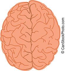 mózg, biały, ludzki, tło
