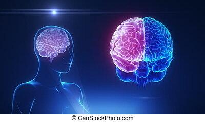 mózg, hemisfera, pojęcie, pętla, samica
