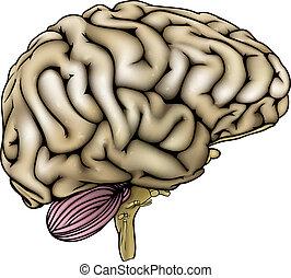 mózg, ludzki, ilustracja