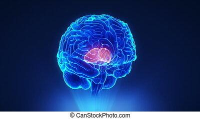 mózg, pojęcie, dobry, thalamus, pętla