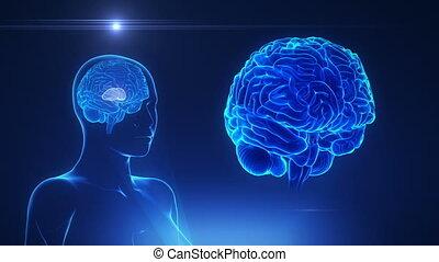 mózg, pojęcie, thalamus, samica, pętla