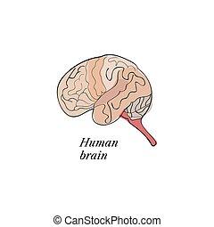 mózg, rys, ludzki