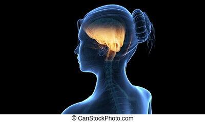 mózg, samica