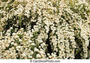 mały, biały, soczysty, closeup, kwiaty, krzak