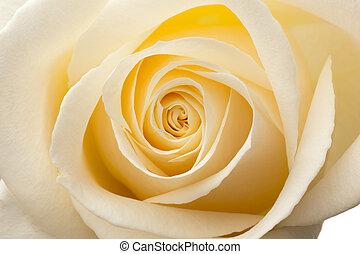 makro, wnętrze, roses., biały, ogień