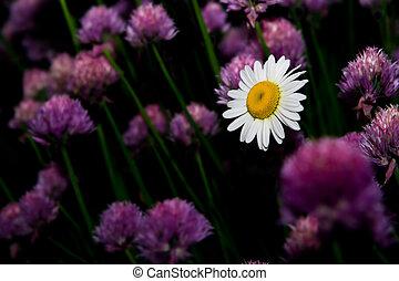 margerytka kwiatu
