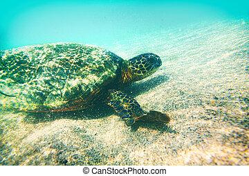 marynarka, podwodny, turkus, dziewiczość, żółw, pływackie zwierzę, zielony, hawaje, woda owinięcie, eco-przyjacielski, -, konserwacja, fotografia
