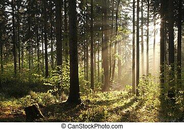 mglisty, świt, las, iglasty